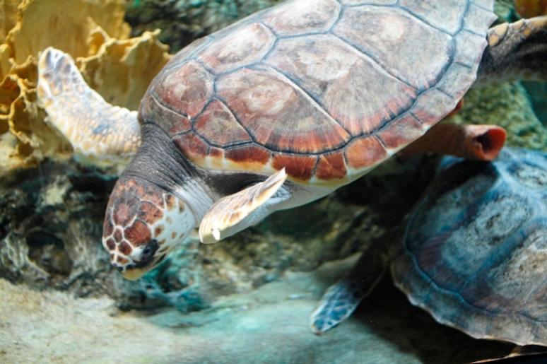 Oceanarium Turtle
