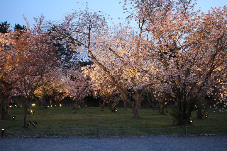 Nijo Castle Kyoto Nijo-jo Cherry blossom