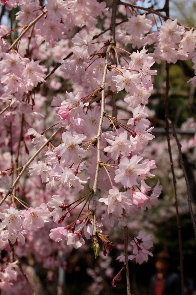 Cherry blossom Kyoto