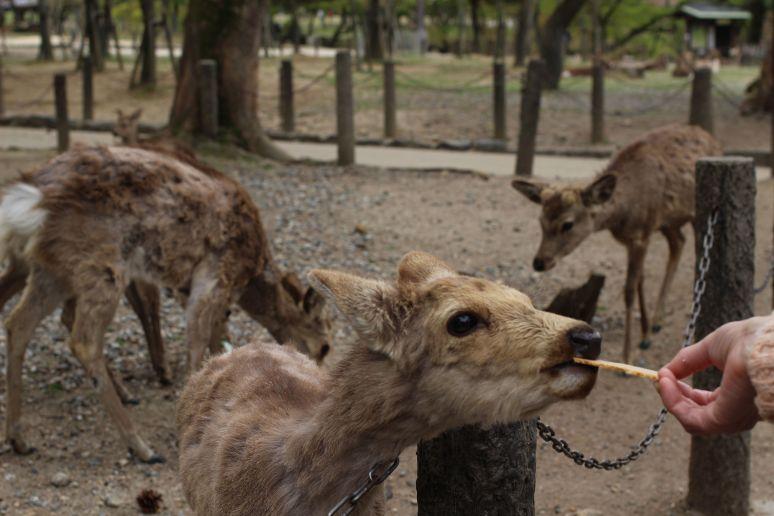 Nara Temple Deer Japan