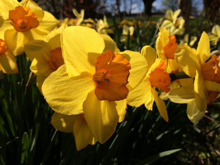 Daffodils Coventry